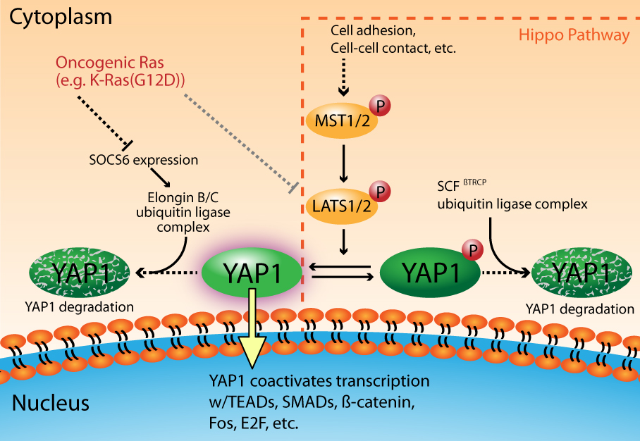 YAP1 activation and degradation
