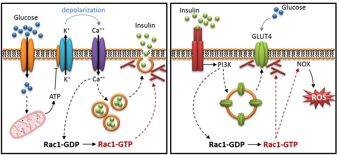 Figure 1. (Left) Schematic representation of GSIS with the role of Rac1 indicated in red. (Right) Insulin signaling in target tissues with the good/bad roles of Rac1 in red.