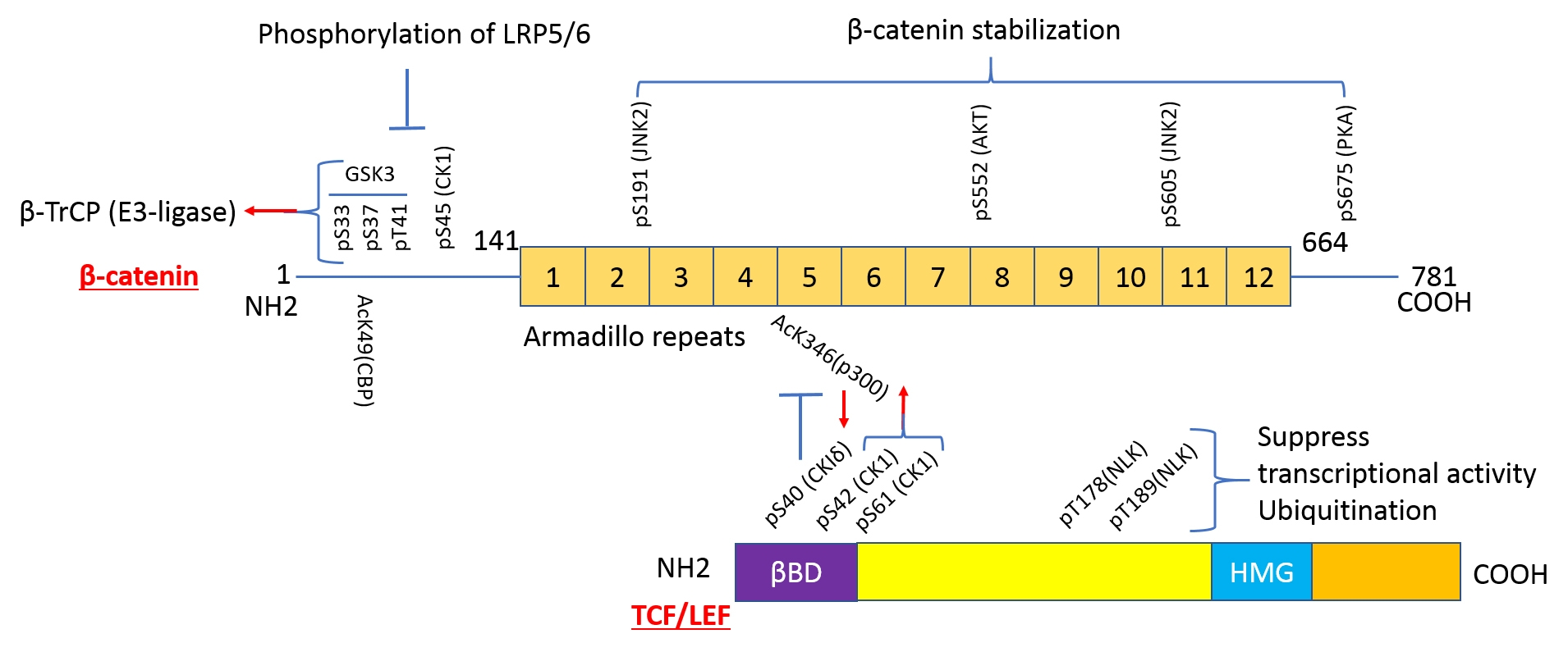 Fig. 1 PTMs regulate the stability of ß-catenin and TCF/LEF-1 and their interaction; (ßBD:ß-catenin binding domain, HMG: High mobility group, ↑: favors interaction,     : inhibits interaction).