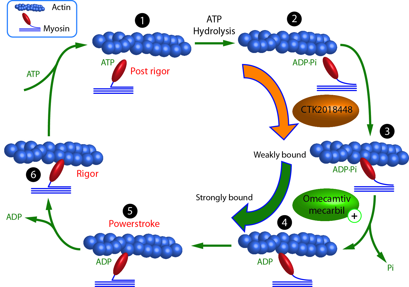 Actin and Myosin Interactions