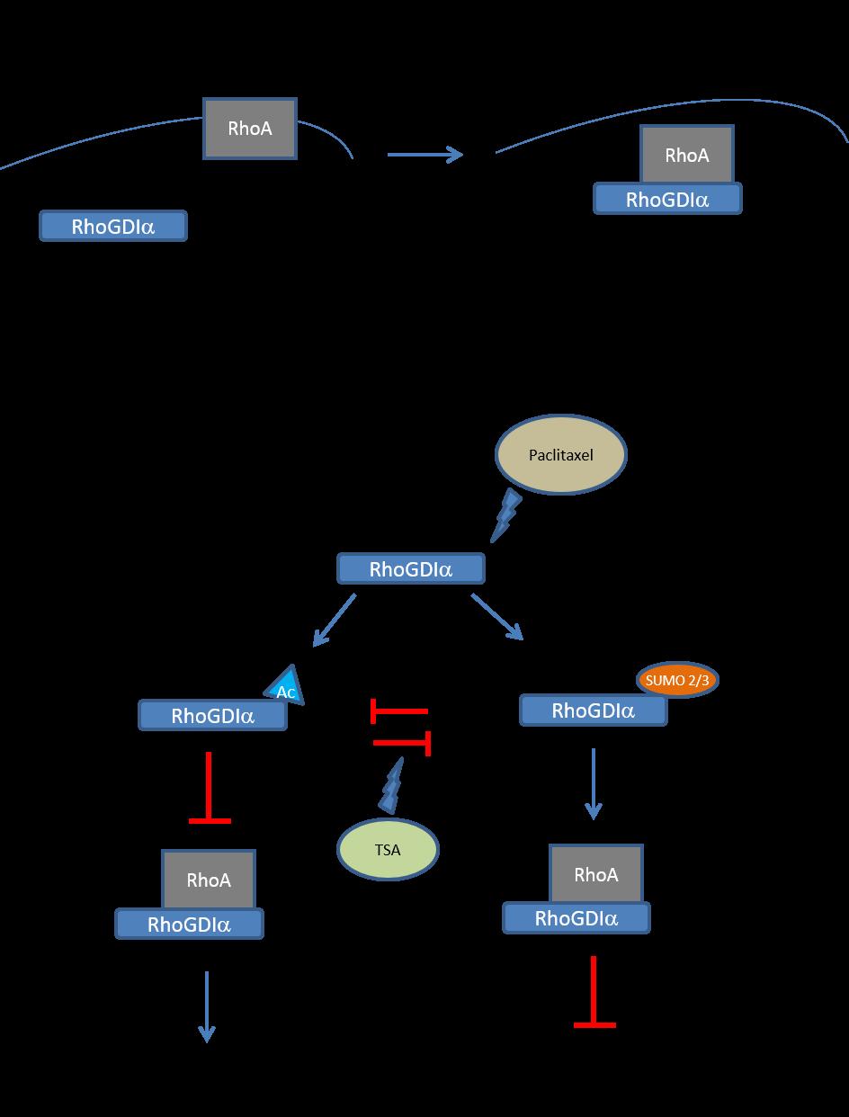 RhoGDIα: RhoA complex inhibits RhoA activity