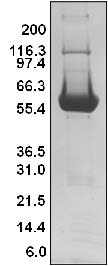 SOS1 Protein Puriity