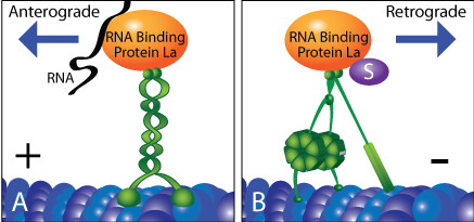 Fig. 1) Bidirectional regulation of RNA binding protein La cargo transportation. A) SUMO-unmodified La binds to anterograde-moving kinesin, which delivers RNAs to distal ends of axons. B) SUMOylated La binds specifically to dynein which returns to cell body (nucleus).