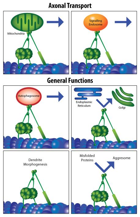dynein-and-neurodegen-diagram