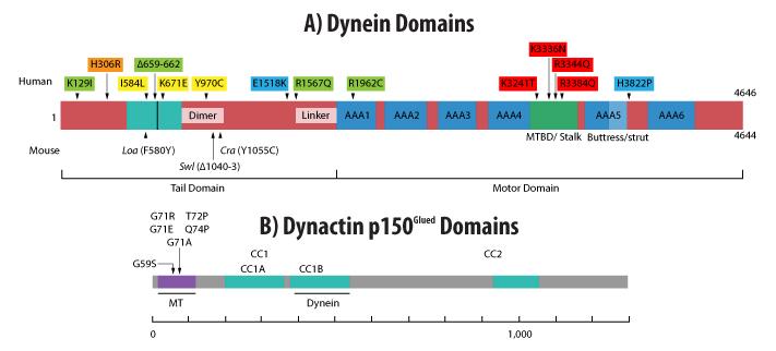 dynein-dynactin-domain