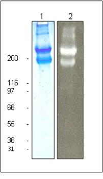 Rhodamine Laminin Purity Determination