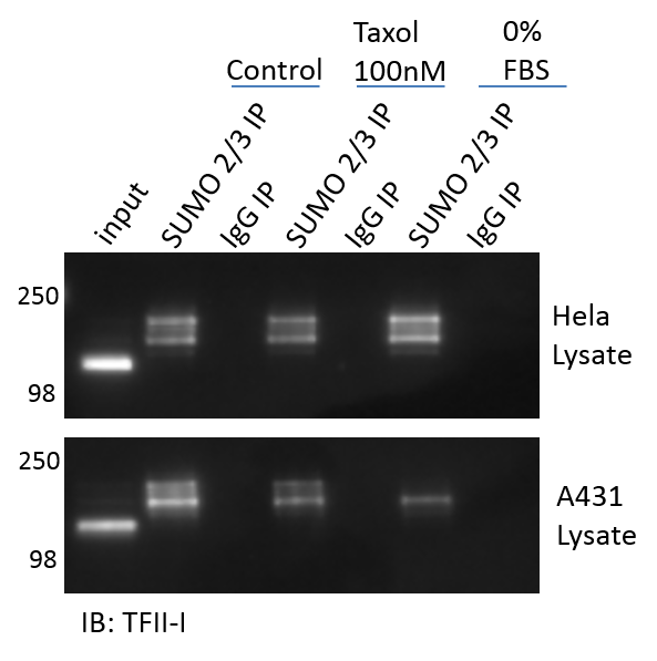 Figure 3 Legend: Untreated, Taxol 100nM, or serum restricted (0% FBS) treated A431, or Hela cells were lysed with BlastR lysis buffer (Cytoskeleton Inc.) supplemented with deSUMOylase inhibitor (NEM).  1mg of each lysate was incubated with the recommended amount of SUMO 2/3 affinity beads (ASM24-beads) or IgG control beads (CIG01) (Cytoskeleton Inc.). Immunoprecipitated samples were separated by SDS-PAGE and transferred to PVDF. Western blot was performed with TFII-I.