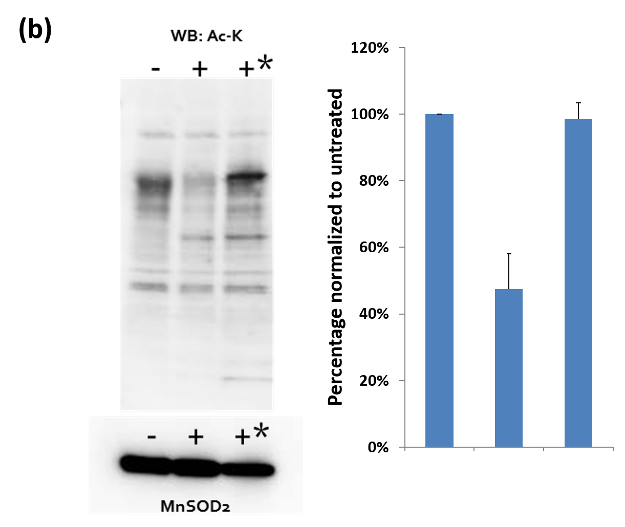 Figure 3b:  Mitochondria were isolated from A431 either untreated (-), treated with 1uM TSA (+), or 1uM TSA plus 50mM nicotinamide (+*). 30ug of mitochondrial extracts were resolved in SDS-PAGE gel and transferred to a PVDF membrane. Acetylated proteins were detected with AAC02 antibody. Protein loading was determined by mitochondrial superoxide dismutase 2 (MnSOD2).