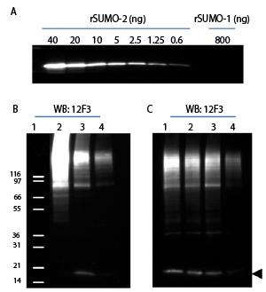 Western blot using SUMO-2/3 Antibody