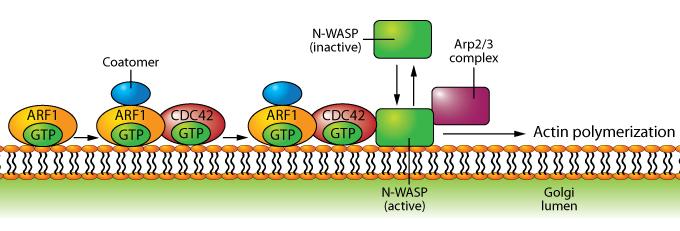 Arf-Diagram-v2