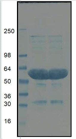 gga07-bead-protein