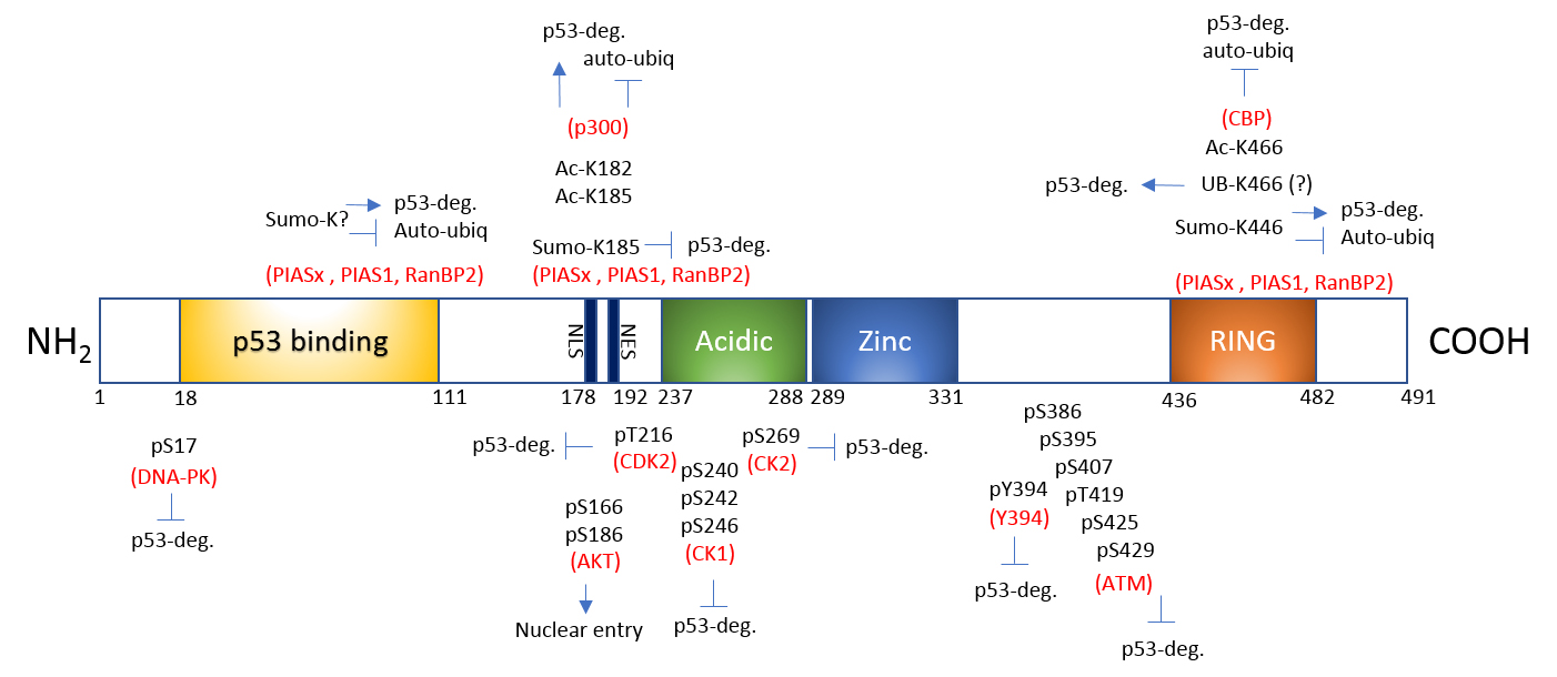 Fig 1. PTMs of Mdm2. Mdm2 undergoes multiple site modifications to regulate its binding to p53 and proteasomal degradation of either p53 or Mdm2 itself. Acidic: acidic domain; Zinc: zinc finger; RING: RING finger; NLS: nuclear export signal and NES: nuclear localization signal.