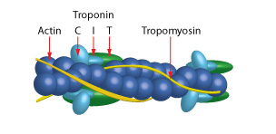 myosin-newsletter-figure1