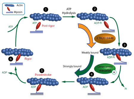 myosin-newsletter-figure2