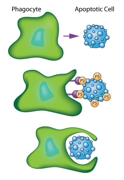 Schematic of phagocytic cell engulfing an apoptotic cell as mediated by recognition of phosphatidylserine (PS) signals.