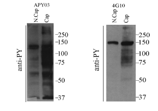 review-results-apy03-anti-phosphotyrosine-fig2