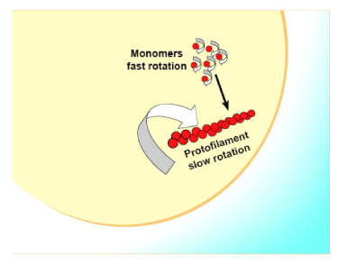 Schematic diagram of FtsZ monomer/polymer reporting fluorescence polarization assay