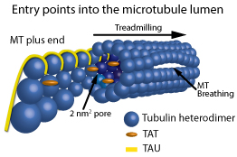 Entry points into the microtubule lumen